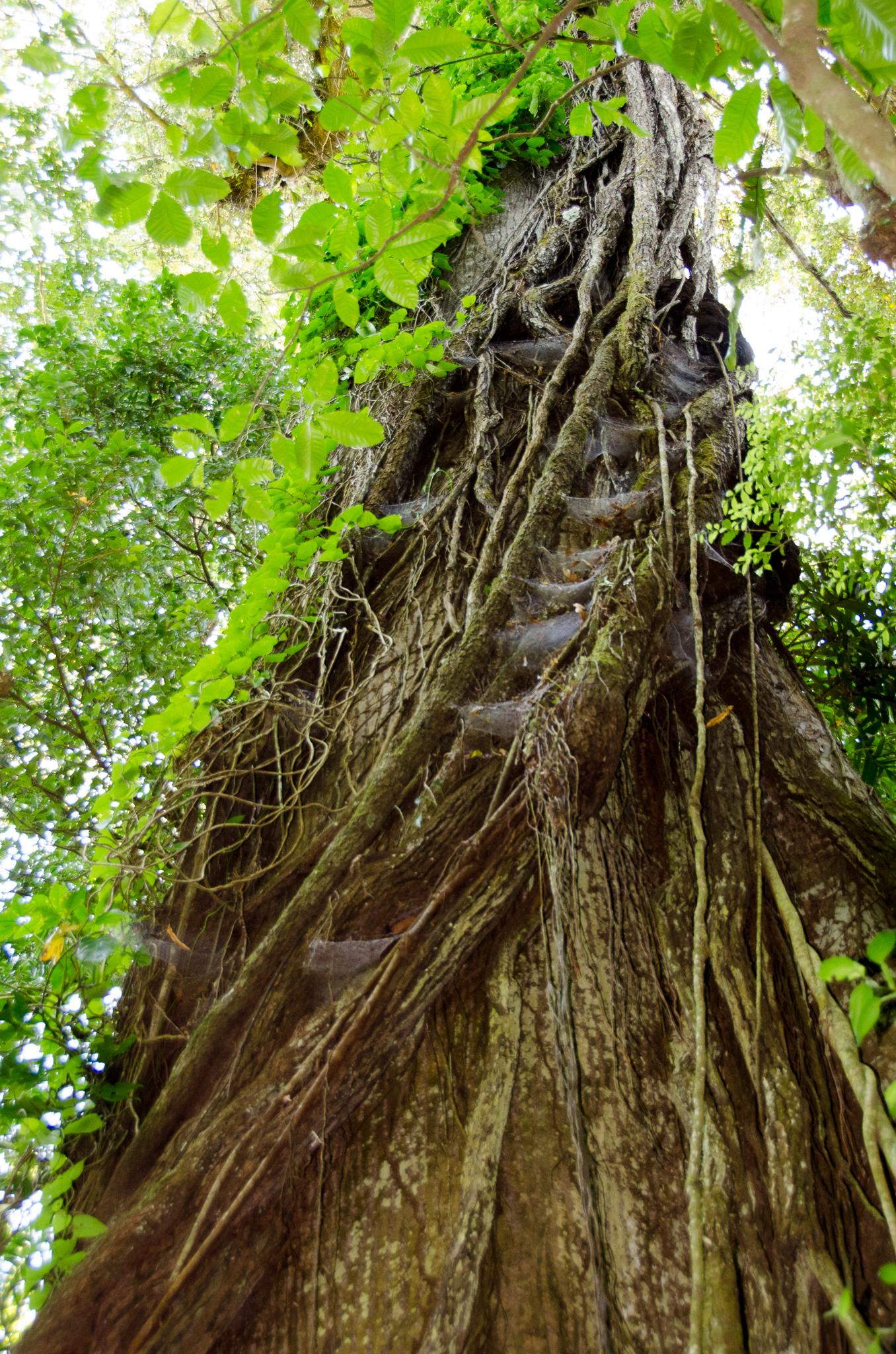 Kapok Tree Arenal 2017 6