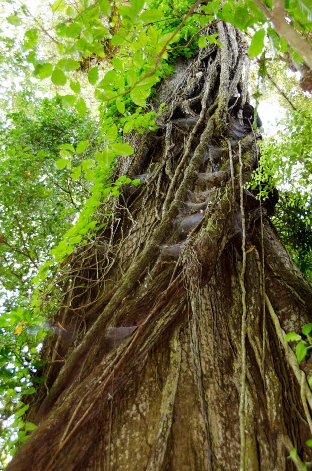 Kapok Tree-Arenal 2015-6